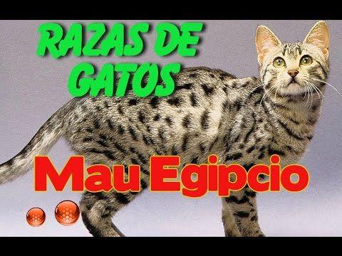 El Gato Mau Egipcio - Caracteristicas de la raza de gato Mau Egipcio - YouTube