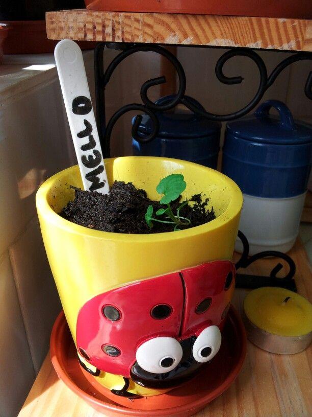 Pansy mello seedling