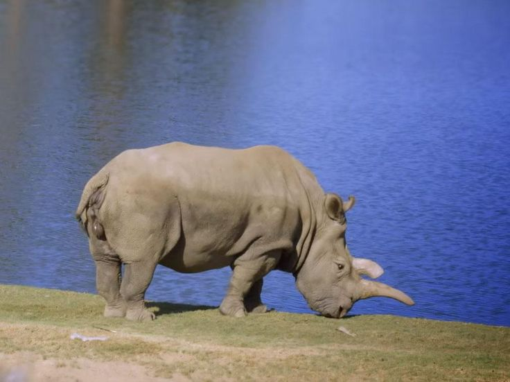 Rare northern white rhinoceros Nola dies to leave three left in the world | Nature | Environment | The Independent