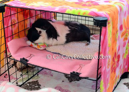 Guinea pig bunk beds from CaliCavyCollective.com