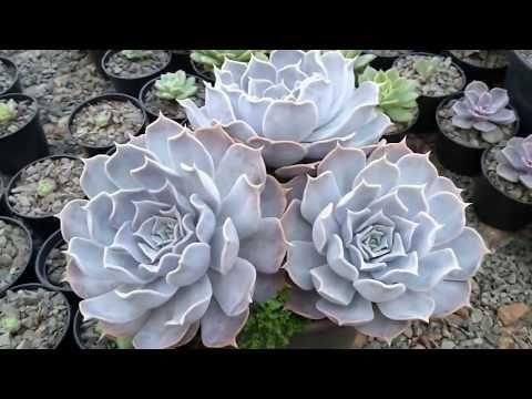 Pin de Ana Rodríguez em cactus y suculentas   Suculentas