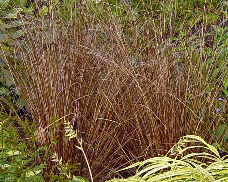149 best images about garden grasses ornamental on for Small red ornamental grass