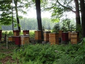 """""""A Year at Bees-of-the-Woods Apiary: August"""" Honeybees have a number of pests and parasites that can weaken, damage, or even destroy the hive.  This month we will focus on the most common pests in our beeyard, as well as what we do to control them so we have the healthiest hives possible. From MOTHER EARTH NEWS Blog"""