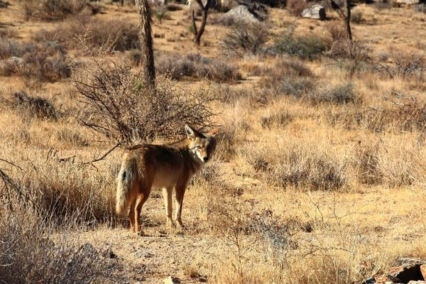 Coyote at Joshua Tree National Park