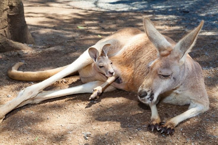 female kangaroo: Kangaroo mother with curious small baby in her pocket Stock Photo http://ift.tt/2kes6K8
