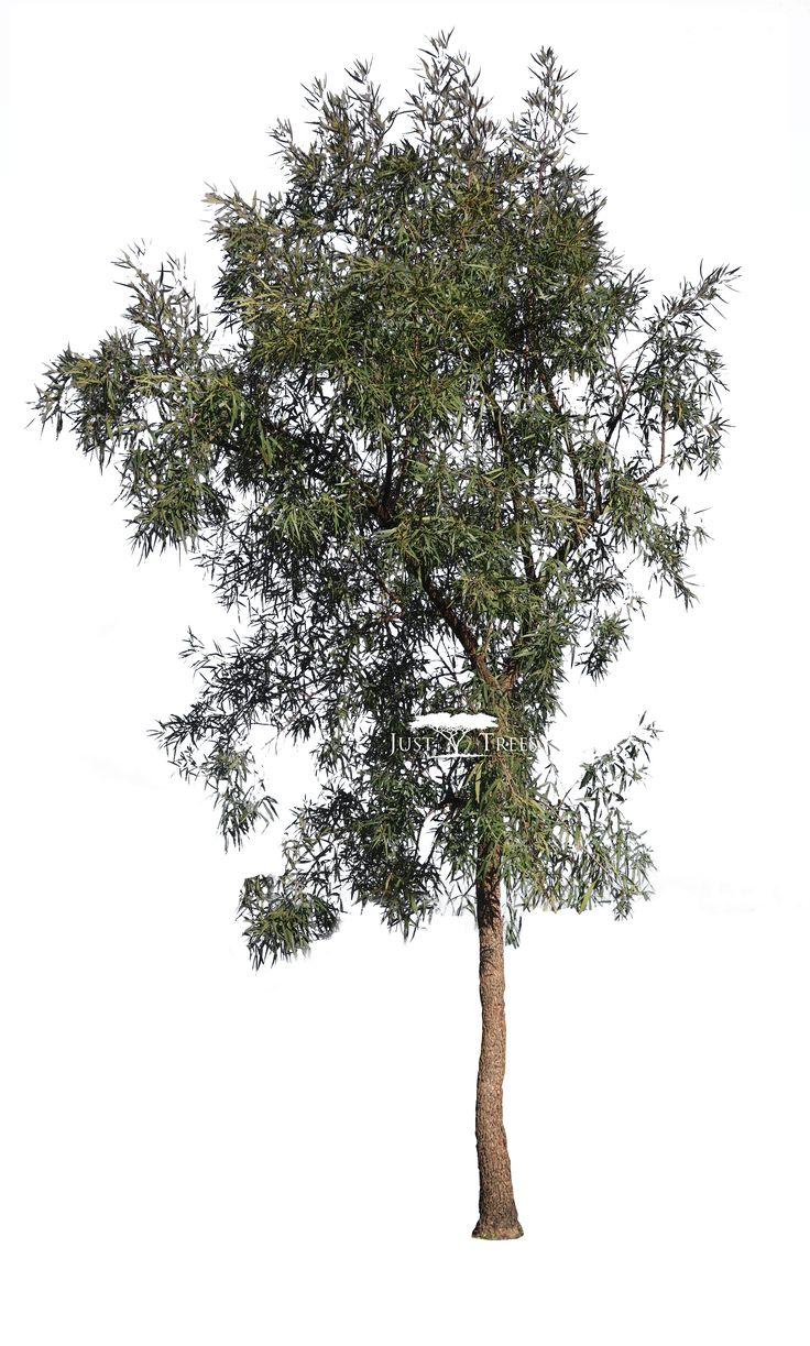 Searcia lancea | Rhus lancea | Common name: Karee (1)