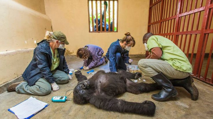 Un pequeño gorila de nueve años observa el trabajo de los veterinarios sobre la salud de su compañera en el Centro Senkwekwe en la sede del Parque Nacional de Virunga, en la República Democrática del Congo