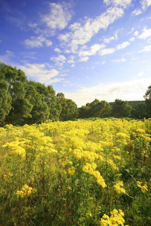 Fields of Gold - Cannock Chase Country Park, Staffordshire. photo by John Godley