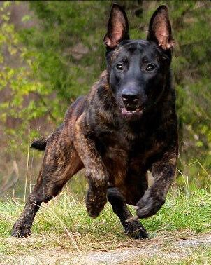 Dutch Shepherd - loyal, reliable, alert, watchful, active, independent, intelligent, intuitive, obedience through modest specialized training, discipline achieve good results, gifted with a true shepherding temperament, work willingly with their owners, deal independently with any task they are assigned, strong character,  independence,  character and traits suggests a strong potential for doing police or military work,