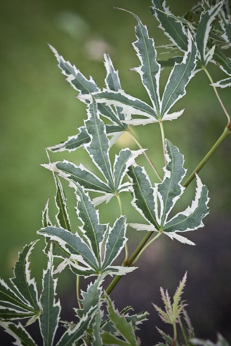 How to care for a fern leaf japanese maple - 25 Best Ideas About Japanese Maple Trees On Pinterest Maple Tree Japanese Maple And Japanese Maple Garden