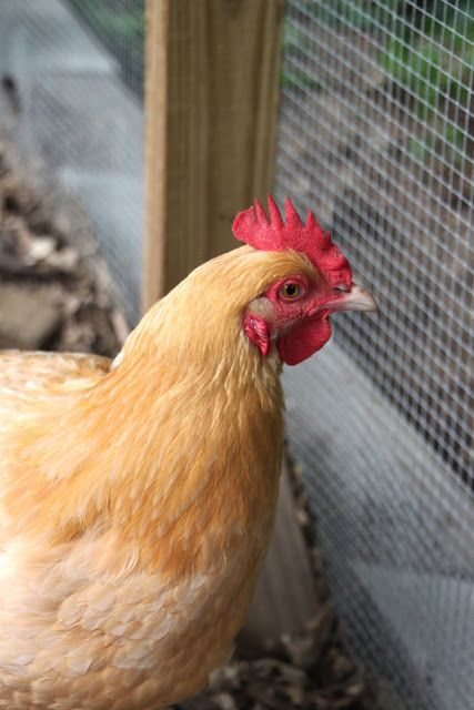 As always a fabulous blog for chicken keepers. Virtual Chicken Coop Tours from backyard chicken keepers.