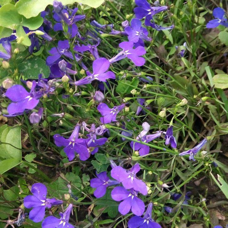 Amala Sambar©® #amala_sambar #amala_sambar_gardens #garden #estate #lily #flower #white #lobelia #blu #fiolet http://misstagram.com/ipost/1555030108740672029/?code=BWUk6Uehlod