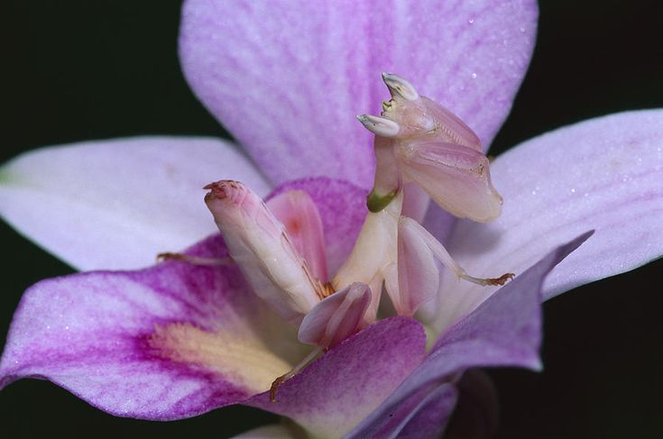 orchid praying mantis camouflage Orchid mantis, Orchids