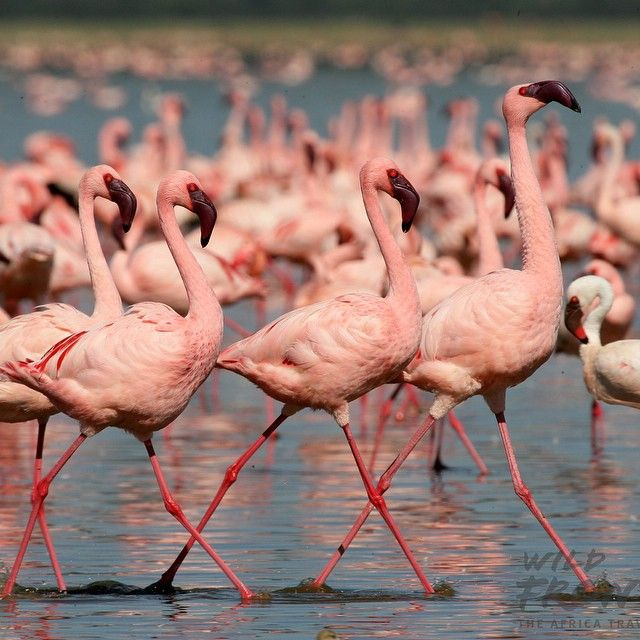 The Great Rift Valley in East Africa has many saline lakes that support the shrimp that #flamingoes eat which of course gives them their pink colour. This pic is from the #Ngorongoro Crater where thousands of flamingoes thrive in massive communities on the crater floor. Come to #Tanzania with Wild Frontiers to get a glimpse of these peculiar colored birds strutting their stuff out in the wild.  Book on www.wildfrontiers.com or email reservations@wildfrontiers.com to find out how we can…