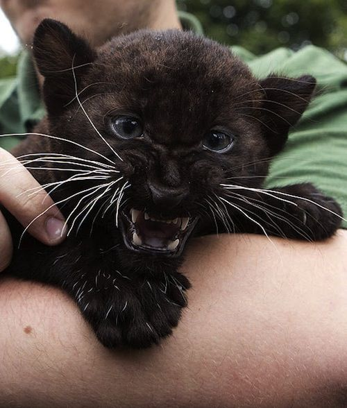Angry Panther Animal |...