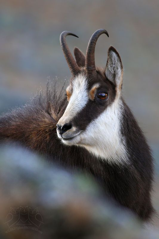 Chamois (Rupicapra rupicapra tatrica) -native to the Swiss Alps. They have even appeared in Swiss folk tales throughout the centuries.