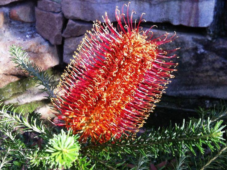 Banksia ericifolia