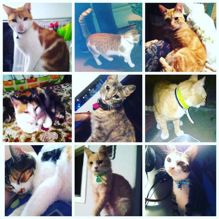Un collage de mis bestias para celebrar el Día Internacional del Gato: Rusio Mimi Blu Nina Skye Niño Miedosa Miki Kimba. #cat #caturday #catlover #pet #petstagram #catstagram #TheCatinthemailbox #internationalCatDay