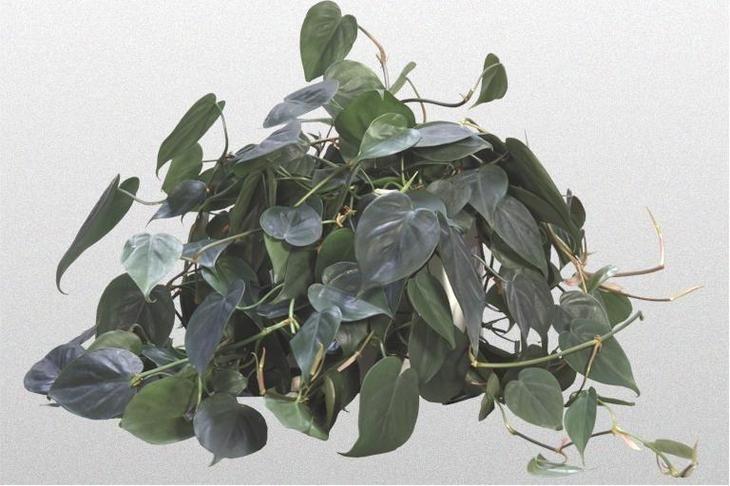 ядовитое комнатное растение филодендрон