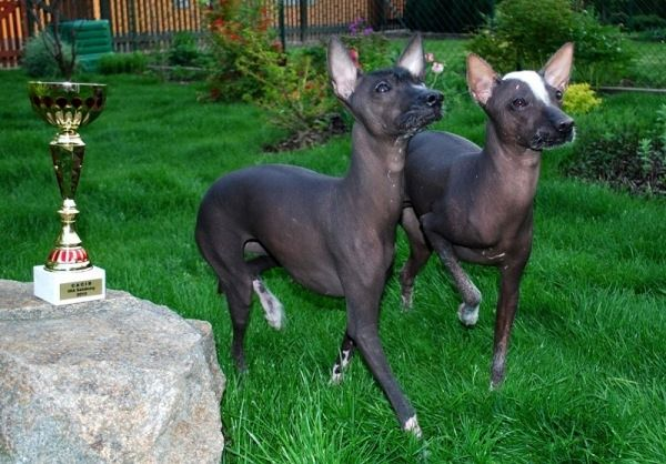 The Peruvian Hairless Dog is a hairless dog breed that originated in Peru. Its entire body is hairless only having short hair on top of its head, on its feet, and on the tip of its tail. An absolutely hairless is much preferred in Peru. The skin color of Peruvian Hairless Dog can be copper, chocolate-brown or elephant grey mottled. - See more at: http://www.thenatureanimals.com/2013/04/surprisingly-naked-animals.html#sthash.OqkrHBDk.dpuf
