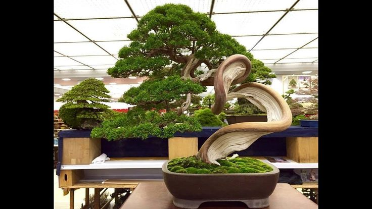 Looking   for   bonsai   trees   in   the   asian   garden