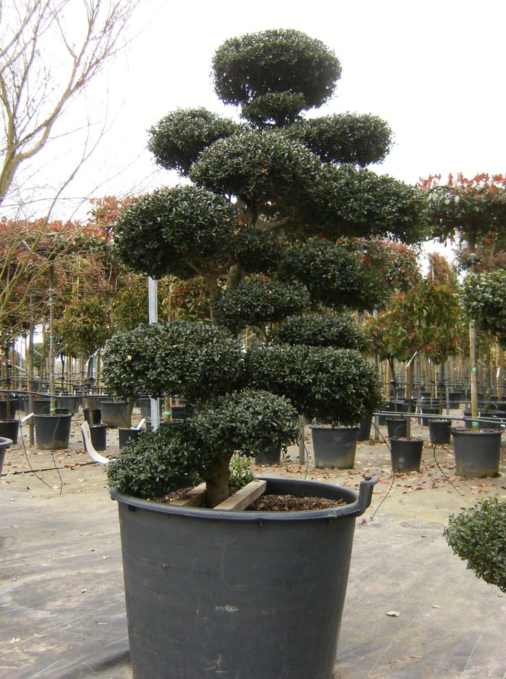 arbres nuage japonais bonsai geant juniperus virg. Black Bedroom Furniture Sets. Home Design Ideas