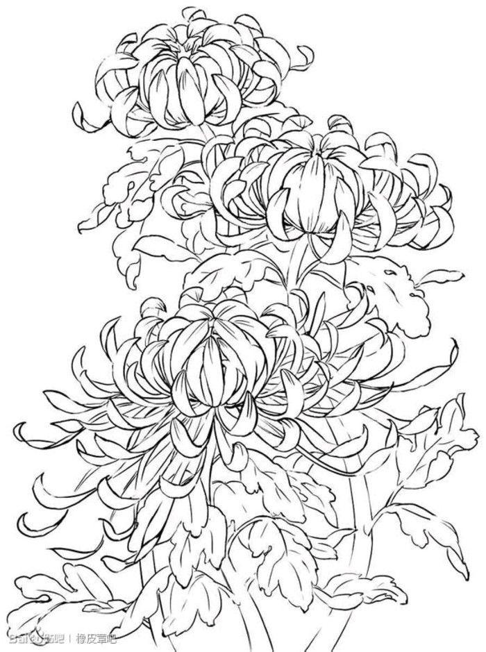 контурные картинки хризантемы уже под пятьдесят