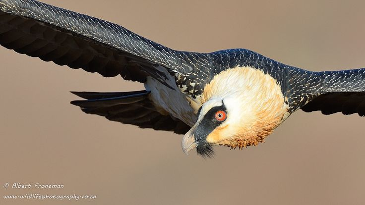 Check out these stunning pics of the #Drakensberg's endangered Bearded Vulture