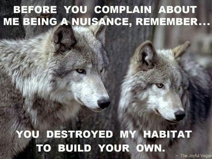 Save the Wolves . Killing of wolves began early . After the first bounty in 1630 was issued, more followed as new areas were settled .