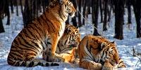 Der Amur-Tiger, auch als Sibirischer Tiger bekannt, ist die größte lebende Katzenart auf der Erde und einer der sechs überlebenden Unterarten des Tigers.