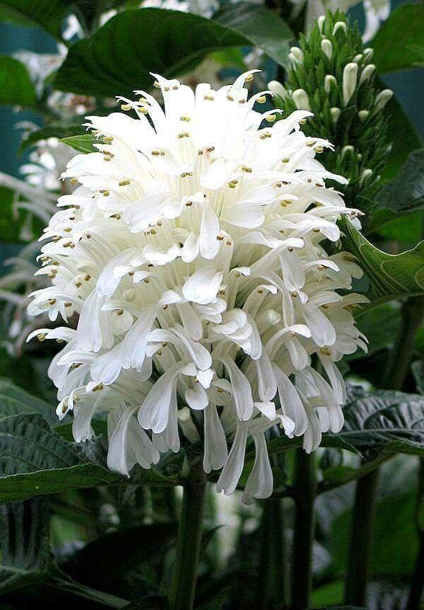 Brazilian Plume flower