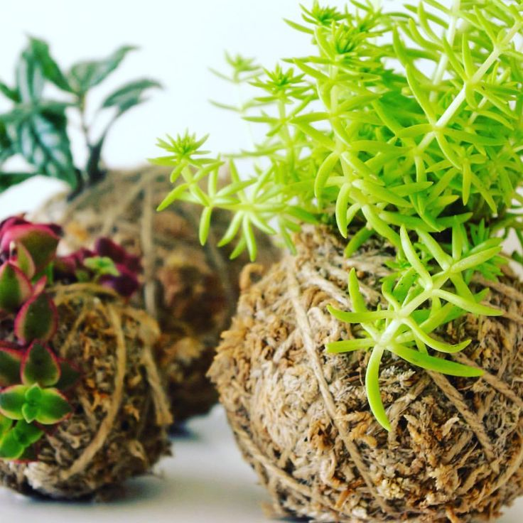 """4 Likes, 1 Comments - Bunch About Town (@bunchabouttown) on Instagram: """"Got too many #balls in the air? Pre-order your #kokedama for tomorrow and get yourself sorted now!…"""""""