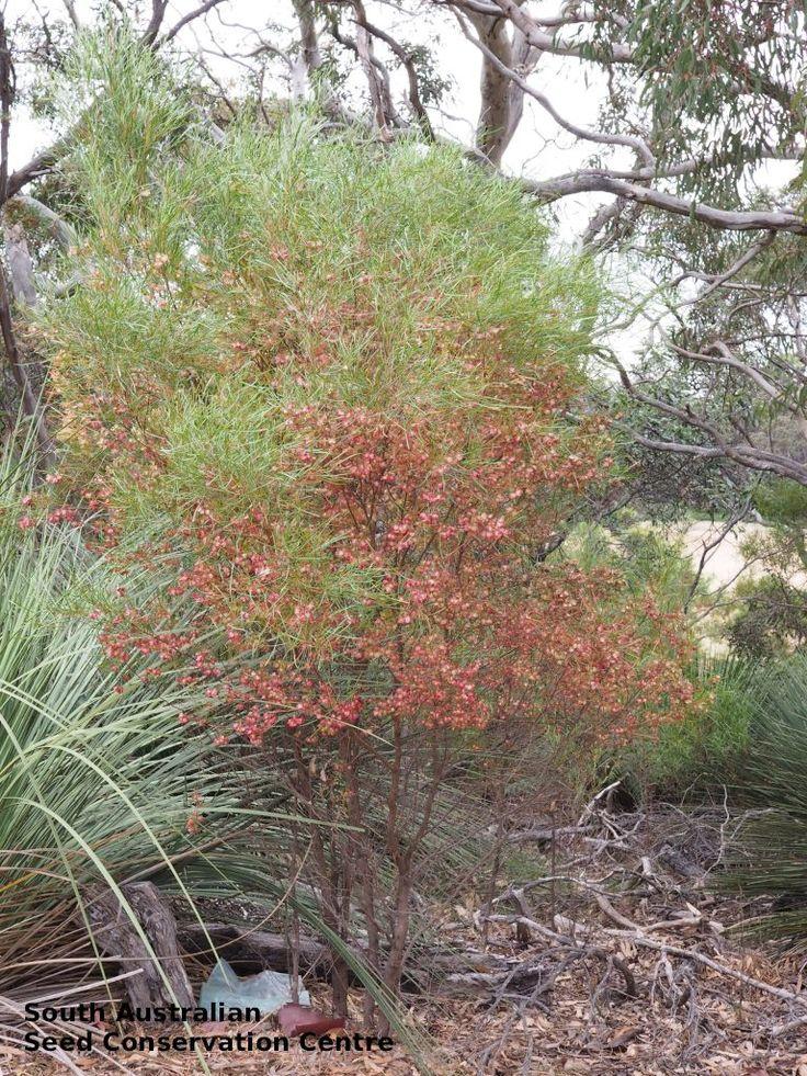 Dodonaea viscosa ssp. angustissima  - Narro-leaf Hop-bush, Height: 4m x Width: