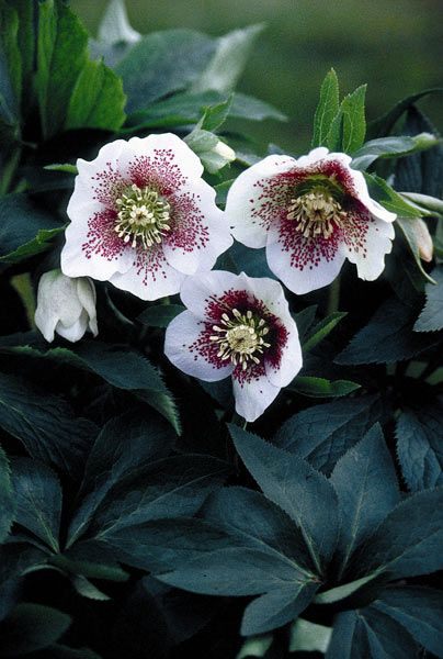 Buy lenten rose / hellebore Helleborus × hybridus 'White Lady Spotted (Lady Series)': Delivery by Waitrose Garden in association with Crocus