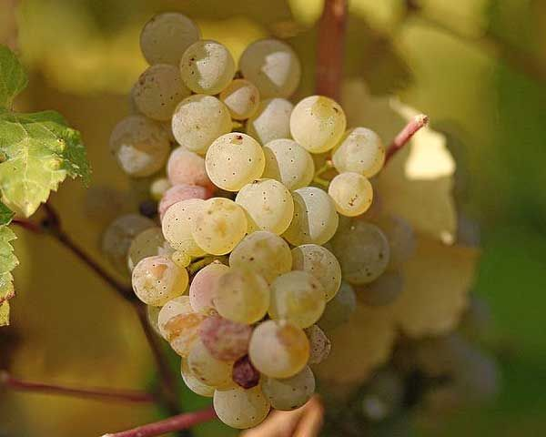 how to serve riesling white wine