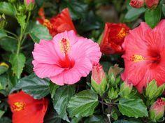 A hibiszkusz vagy rózsamályva egyike a leggazdagabban virágzó cserepes növényeinknek. Virágzásának mértéke jószerivel a szakszerű teleltetéssel van összefüggésben.