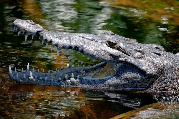 Jamajka krokodýl