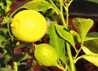 Yen Ben Lemon: Similar to Lisbon, this variety is the primary cultivar produced in New Zealand for the Japanese export market. It is smooth skinned with a thin rind and low numbers of seeds. Produces abundantly throughout the year with over 60% of harvestable fruit developing in winter.