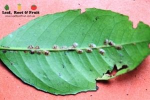 Controlling Scale on Citrus Trees - Leaf, Root & Fruit Gardening Services Hawthorn