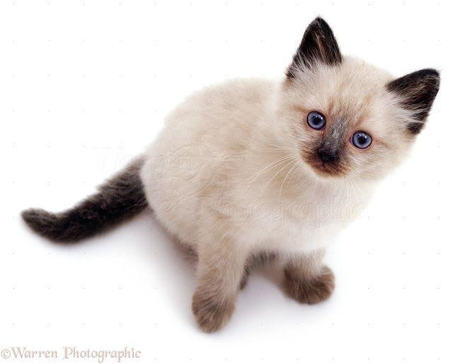 Les 25 meilleures id es concernant chatons siamois sur pinterest siamois chats siamois et chats - Enlever les puces sur un chaton ...