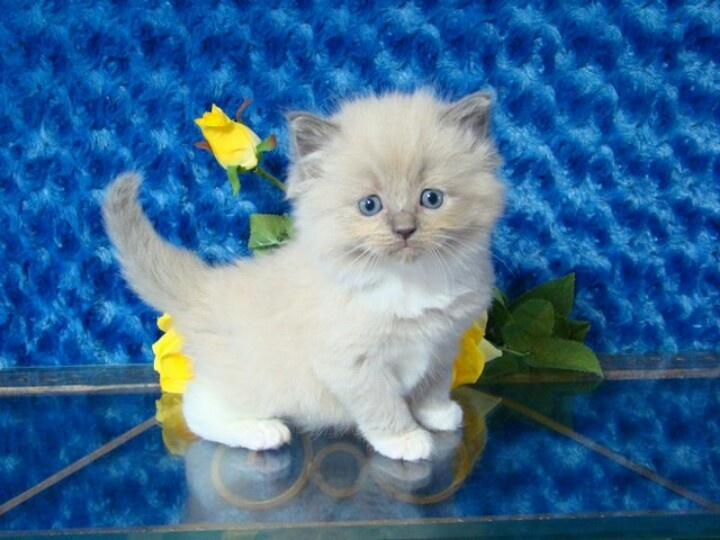 Ragdoll kittens for sale, Beautiful cats