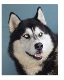 Before you decide you want to get a husky, please read the breed profile. It is sad how many huskies end up as strays and in shelters because their owners aren't prepared to take proper care of them.