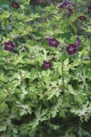 Hardy Cranesbill for sale buy Geranium phaeum 'Springtime' - Plantdelights