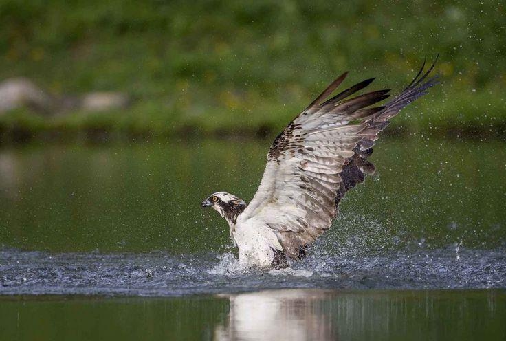 Questa bellissima sequenza fotografica è stata scattata da un foto-amatore sul lago di Aviemore, nelle Highlands scozzesi. Il protagonista è un maestoso esemplare di falco che sfreccia a più di 80 km/h per prendere la sua preda, un ignaro pesce che diventa il suo pranzo fast food.