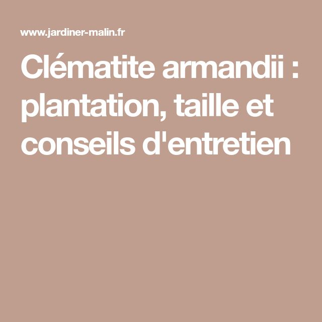 Clématite armandii : plantation, taille et conseils d'entretien