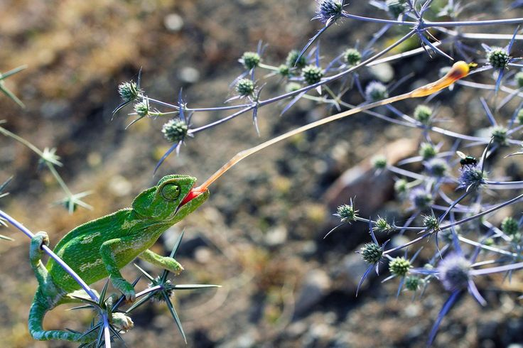 Fastfood - A chameleon in Turkey snags a meal in this National Geographic Photo of the Day.