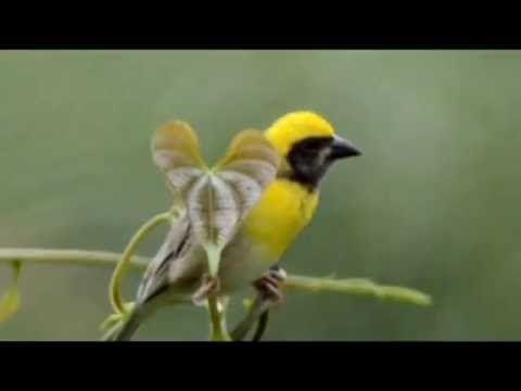 Close to a Weaver Bird