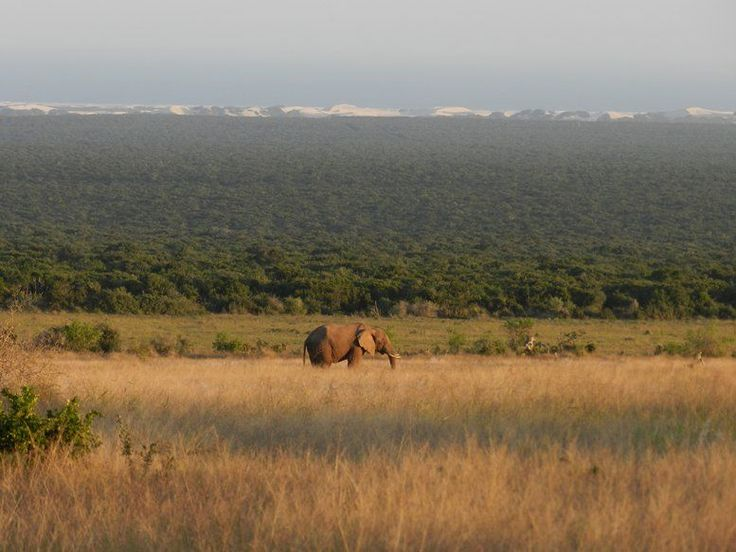 Elephant in Addo Elephant National Park with Dunes in background