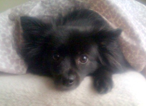A Papillon Schipperke Mix This Isn T Monkey It S A