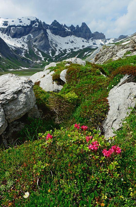 Segnesboden Graubünden Alpenrose Tschingelhörner